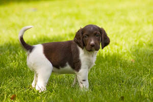A beautiful little brown and white Small Munsterlander puppy