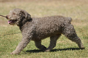 A brown Spanish Water Dog with a beautifully groomed coat