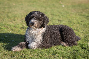 A white and brown Spanish Water Dog lying in the grass