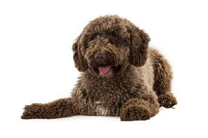 A wonderful little Spanish Water Dog lying down, ready to play