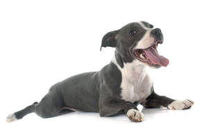 A beautiful little maturing Staffordshire Bull Terrier puppy panting