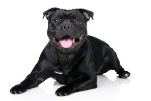 A young adult Staffordshire Bull Terrier with a lovely thick, black coat