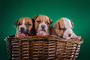 Two wonderful little Staffordshire Bull Terrier puppies in a basket