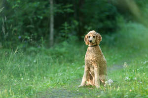 A beautiful adult Standard Poodle sitting patiently, waiting for command