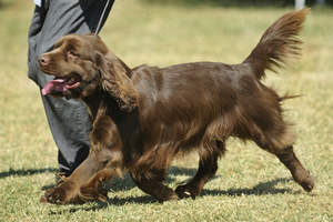A Sussex Spaniel's beautifully soft chocolate brown coat