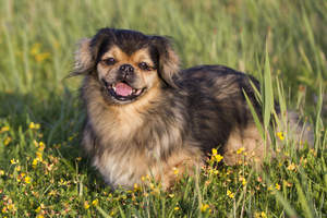 A Tibetan Spaniel waiting patiently for it's owner in the long grass
