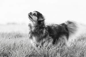 A young Tibetan Spaniel standing tall, showing off it's beautiful, short nose