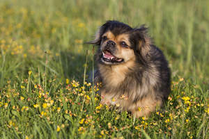 An excited little Tibetan Spaniel playing outside in the long grass
