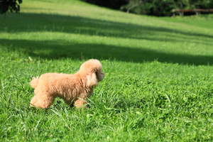 An incredibly little Toy Poodle puppy standing tall in the grass