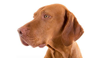 A close up of a Vizsla's bold red head and short, tight coat