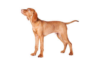 A maturing male Vizsla puppy, standing tall showing off its slender physique