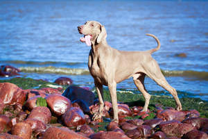 A beautiful adult Weimaraner, showing off it's powerful physique