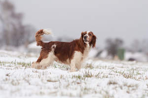 A Welsh Springer Spaniel showing off it's beautiful, long, brown coat