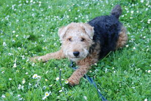 A little Welsh Terrier, ready to play with it's owner
