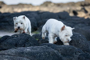 Two West Highland Terrier's enjoying each others company on the rocks