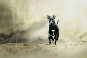 A lovely, black and white young Whippet running at full sprint
