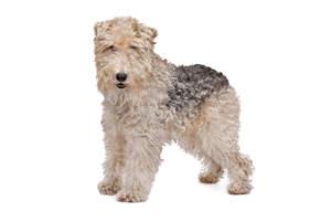 A Wire Fox Terrier's wonderful great big beard