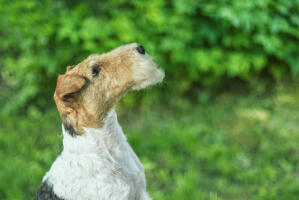 A Wire Fox Terrier showing off it's beautiful, long nose and wiry beard