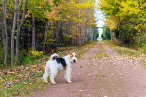 A beautiful, adult Wire Fox Terrier enjoying some exercise outside