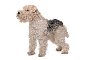 A beautiful little white and black Wire Fox Terrier showing off it's lovely long legs