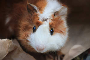 A close up of an Abyssinian Guinea Pig's big beautiful eyes