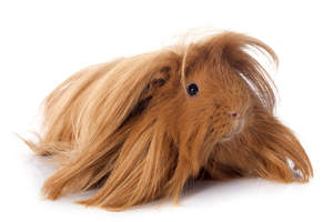 A Peruvian Guinea Pig with incredible long brown fur