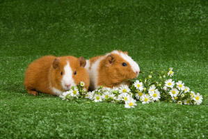 Two beautiful white and brown Rex Guinea Pigs