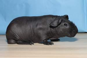 A black hairless Skinny Guinea Pig with a scruffy hairy nose