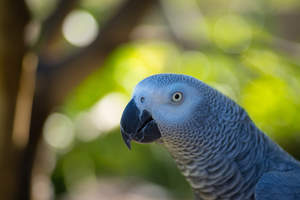 A close up of a African Grey Parrot's big, beautiful eyes