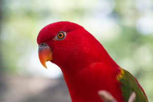 A close up of a Australian King Parrot's lovely, orange beak
