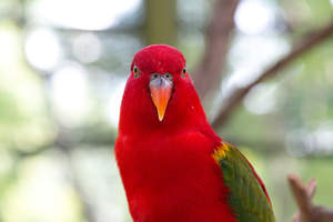 A close up of a Australian King Parrot's wonderful, red head feathers
