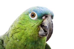 A close up of a Blue Naped Parrot's beautiful eyes