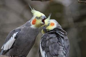 A Cockatiel's wonderful, grey body feathers