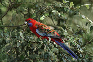 A Crimson Rosella's incredible colour patterned wings