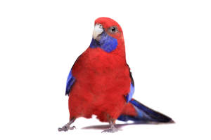 A Crimson Rosella showing off its lovely crimson red chest