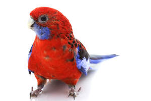A close up of a Crimson Rosella's lovely eyes