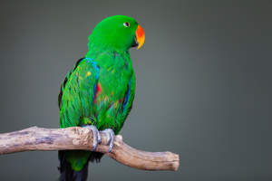 A Eclectus Parrot's beautiful green and blue wing feathers