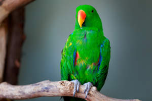 A Eclectus Parrot's incredible green top feathers