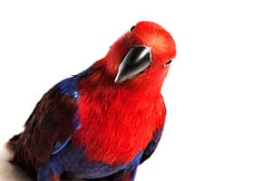 An Eclectus Parrot's powerful, red chest colours