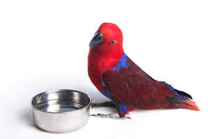 An Eclectus Parrot having a drink from it's water bowl