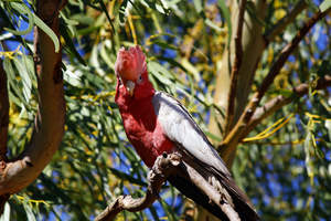 A Rose Breasted Galah