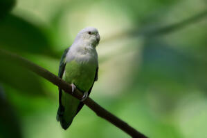 A beautiful Grey Headed Lovebird perched on a branch