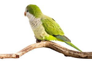 A beautiful green Monk Parakeet perched on a branch