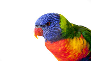 A close up of a Rainbow Lorikeet's beautiful red eyes and red beak