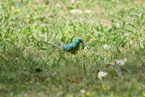 A lovely, little Red Rumped Parrot feeding on the grownd