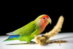 A Rosy Faced Lovebird's beautiful, blue tail feathers