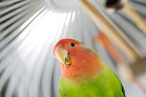 A close up of a Rosy Faced Lovebird's lovely, little beak