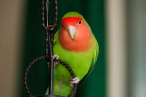 The beautiful pink face of a Rosy Faced Lovebird