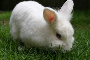 A beautiful young Lionhead rabbit with an incredible white coat