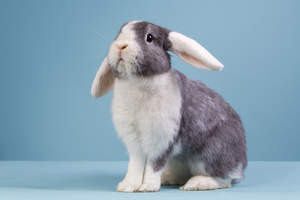 A beautiful grey and white Mini Lop rabbit with it's ears down